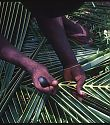 preparing the palm fronds for weaving